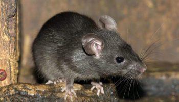 Top các loại thuốc diệt chuột sinh học hiệu quả nhất