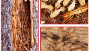 Cách diệt mối mọt gỗ đơn giản, hiệu quả và an toàn cho gia đình