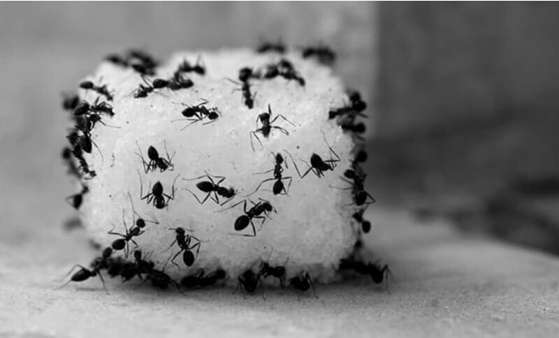 Kiến loài côn trùng tưởng chừng vô hại, nhưng gây hại không ngờ